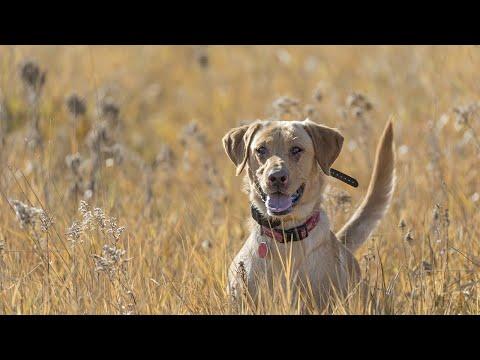 DIY Kansas Public Land Pheasant & Quail Hunt | The Flush: Season 10, Episode 13