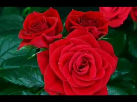 Видео распускается роза