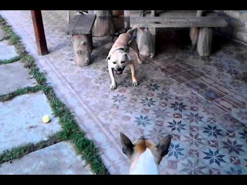 Agressziv Pitbull ( Max & Kitty )