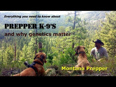 Prepper K-9's: Everything You Need To Know: Black Mouth Cur