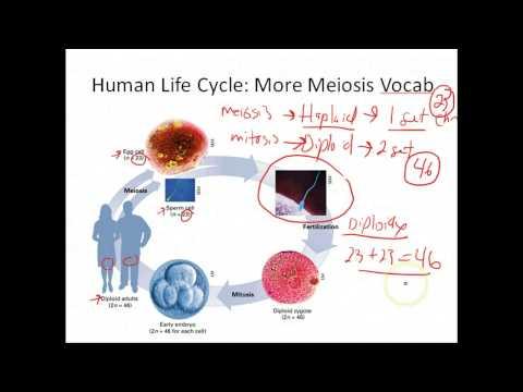 Biology: Meiosis (9.5-Biology: Exploring Life)