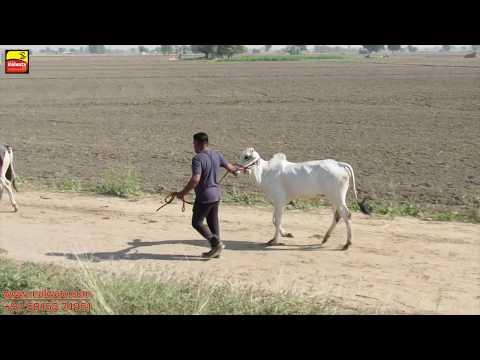 OX (ਵੱਛੇ) RACES - 2018 🔴 SHIFT 1st 🔴 ਬੈਲ ਗੱਡੀਆਂ ਦੀਆਂ ਦੌੜਾਂ at DAUDHAR (Moga) 🔴 Full HD 🔴 Part 1st