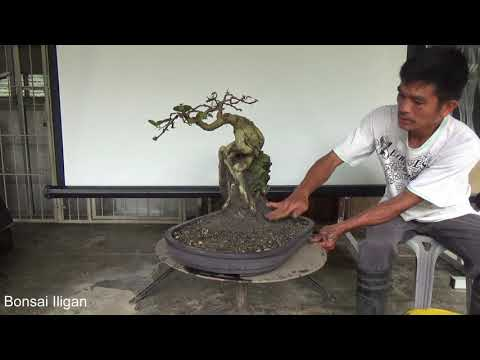 Bonsai Tutorial for Beginners: Rock Side Planting