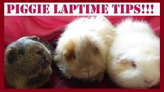 Guinea Pig Laptime: Useful Tips on Taming and Bonding With Your Piggies!
