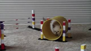 Tonkinese Kitten Training For Cfa Feline Agility