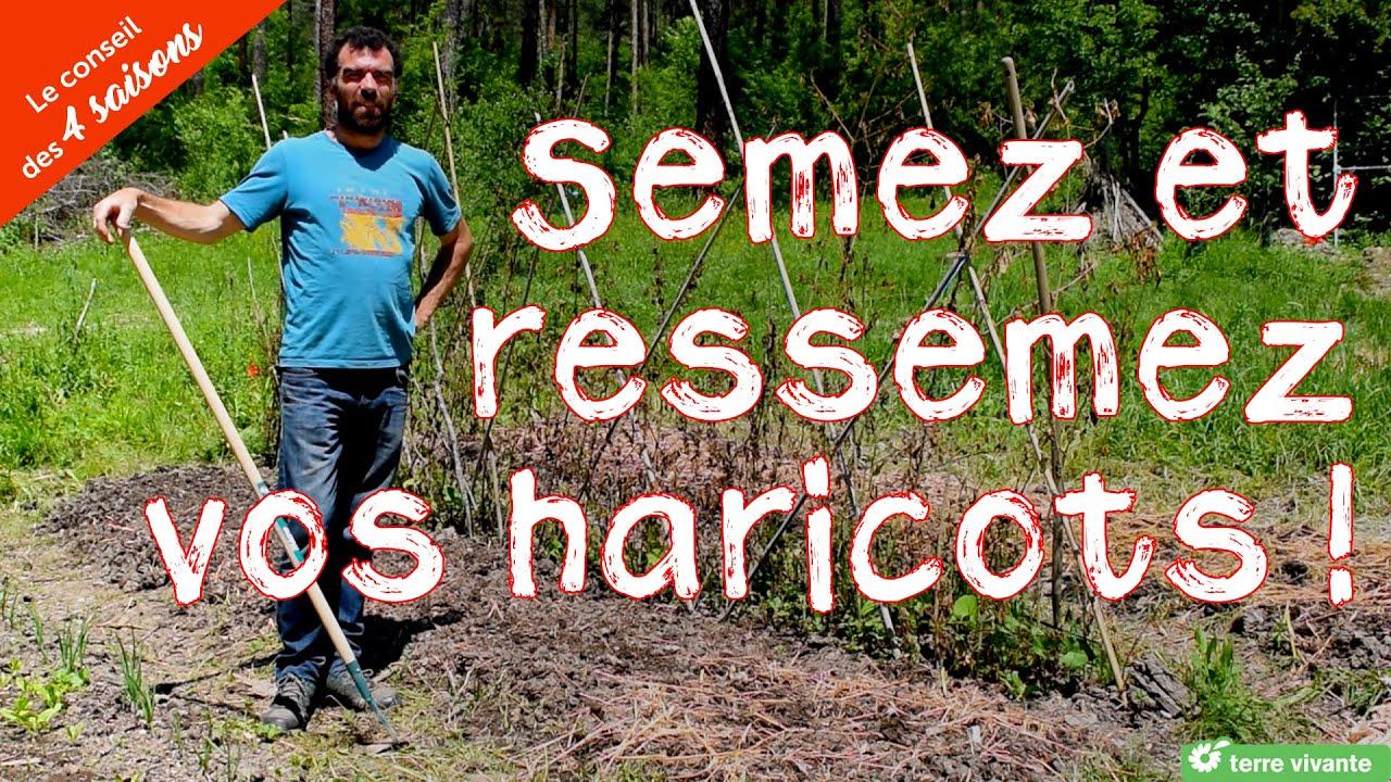 Semez et ressemez les haricots - Le conseil des 4 saisons