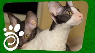 Порода кошек Корниш Рекс (Часть Вторая). Все О Домашних Животных