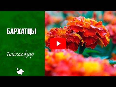 Бархатцы посадка ➡ Когда сажать цветы и какие семена выбрать?