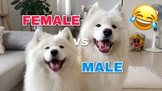 Funny Differences Between Female And Male Samoyeds!