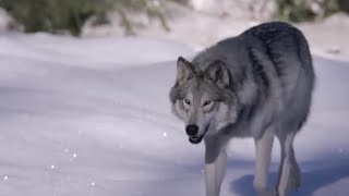 Caribou Spot Wolves Using UV Vision - Animal Super Senses - BBC