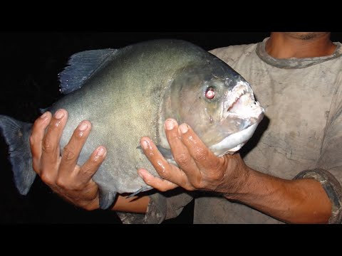 Fishing For Amazon Giant Black Piranha's! (Serrasalmus Rhombeus)