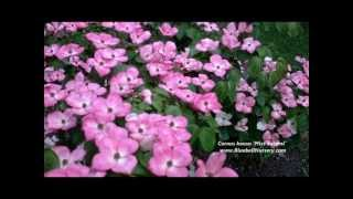 Cornus kousa 'Miss Satomi' video