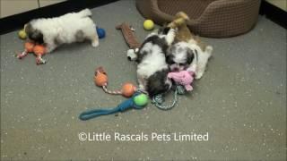 Little Rascals Uk Breeders New Litter Of Shichon/Zuchon Puppies