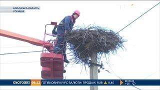 Волинські комунальники облаштовують на електроопорах гнізда для лелек