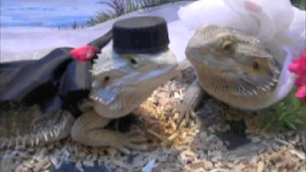 Lizards Get Married Youtube