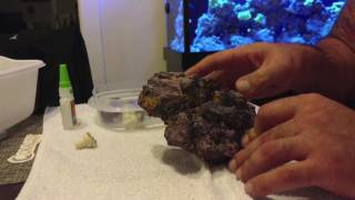 creating a fire and ice zoanthid colony