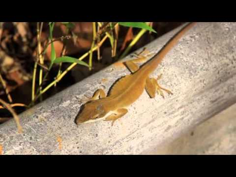 Anole Lizzard Changes Color like a Chameleon