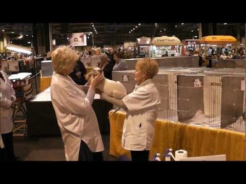 GCCF Supreme Cat Show 2011 Best Of Variety Siamese Adult