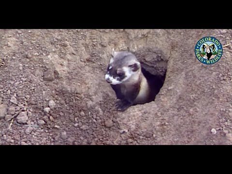 Black-Footed Ferrets Colorado