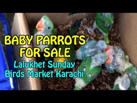 Baby Parrots for sale   Lalukhet Birds Market Karachi   Video in Urdu/Hindi