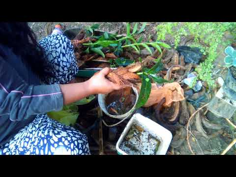 USED COCONUT HUSK PLANTING ORCHIDS