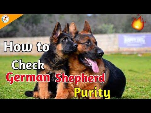 How to check German shepherd purity / In Hindi / German shepherd purity check