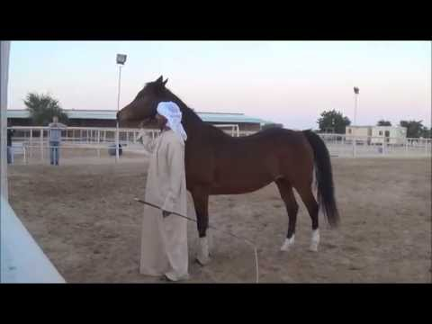 Ali Al Ameri the Horsemaster