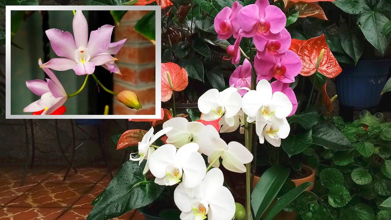 Cuidado y Cultivo de mis Orquídeas Phalaenopsis y Dendrobium