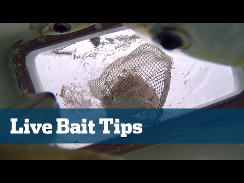 Florida Sport Fishing TV - Pro's Tip How To Handle Live Bait When Kite Fishing Offshore