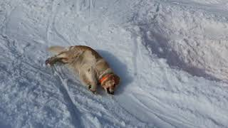 Dog Enjoys Snow While Sliding Downhill - 1166641-3