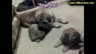 Sharpei, Puppies, For, Sale, In, Badger, County, Alaska, Ak, Kink Fairview, College
