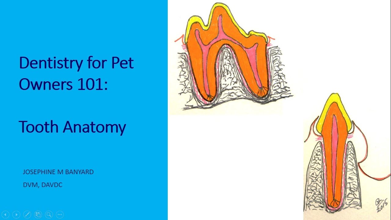 Tooth Anatomy: Dentistry for Pet Owners 101 - YouTube