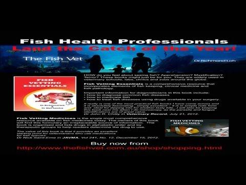 Velvet disease in Siamese fighting fish.