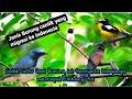 Jenis Burung Migrasi Yang Paling Di Cari Saat Ini Masteran Terbaru  Mp3 - Mp4 Download