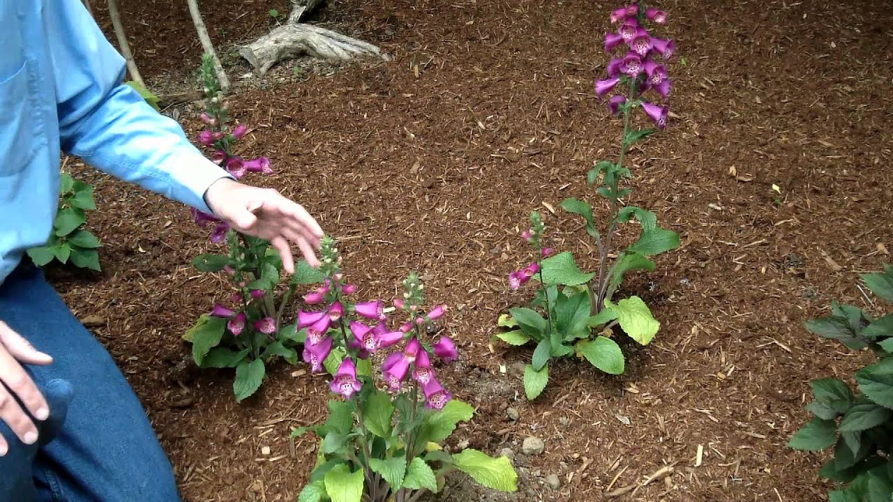 how to take care of foxglove