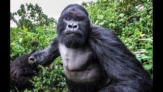 Поиск горилл в джунглях Конго. Заир - опасная Африка. Парк Вирунга.  Часть 1.