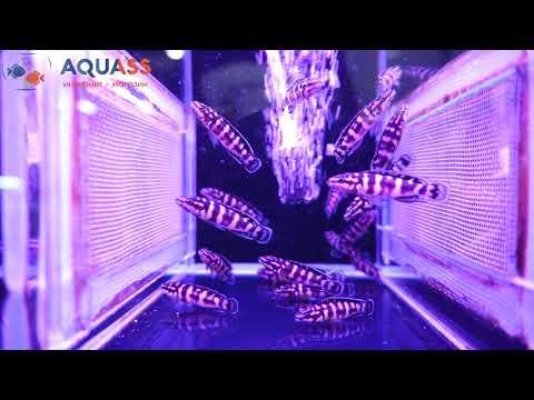 🐠Aquass - Юлидохромис масковый Гомби (Julidochromis Transcriptus Gombi)