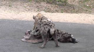 hyena cubs eating 2