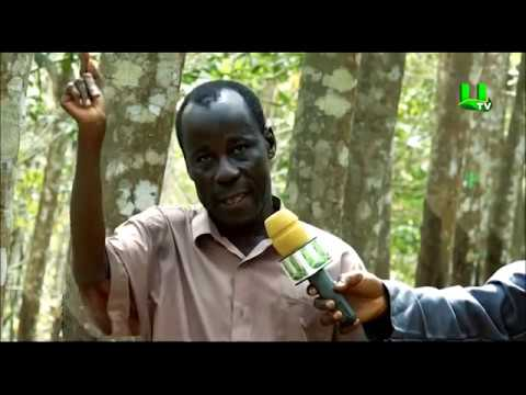 AYEKOO: Rubber Plantation in Ghana (PART 2)