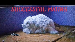 What a successful mating/breeding looks like in persian cats.