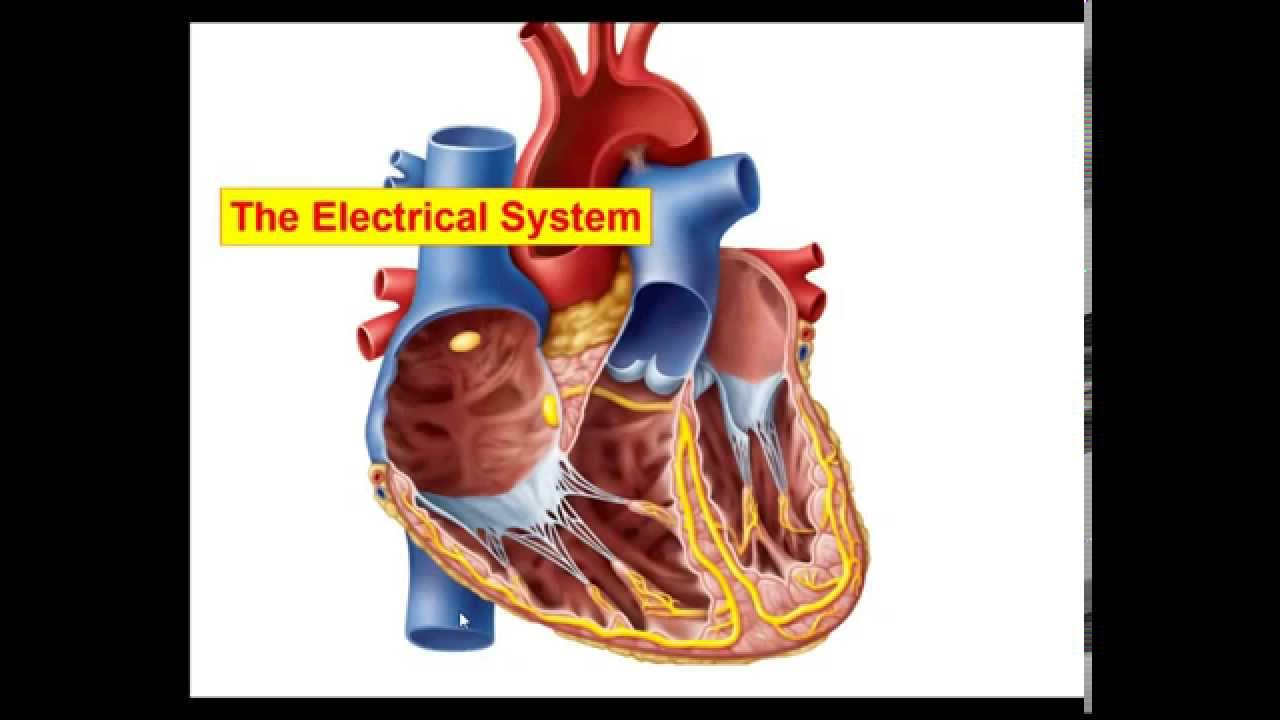 Anatomy physiology electrical activity of the heart youtube anatomy physiology electrical activity of the heart ccuart Images