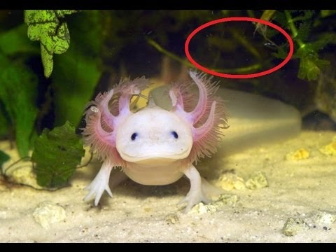 Rare water monster axolotl disappears in mexico city youtube for Walking fish for sale