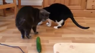 Why Are Cats AFRAID of CUCUMBERS? | What's Trending Now