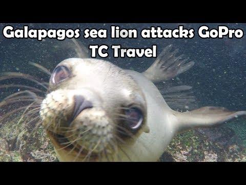 Galapagos sea lion attacks GoPro - Travel Adventures | HD