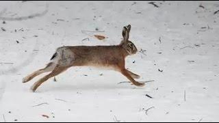 Загінне полювання на зайця . 2018