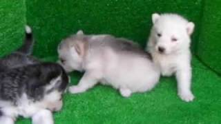 シベリアンハスキー子犬兄妹!!<子犬の利根RS>