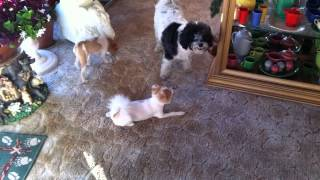Pomeranians Wanting To Play With Powderpuff Chinese Crested