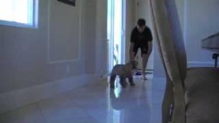 Amazing Cocker Spaniel Plays Catch
