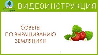 Сады Урала. Видео-блог — Земляника (Клубника, Виктория)