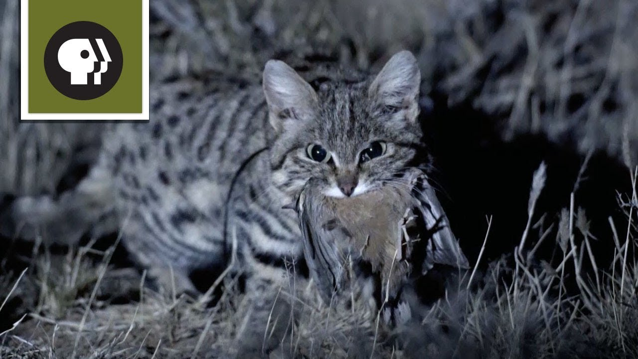 Meet the Deadliest Cat on the Planet